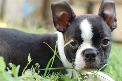 best food for boston terrier puppy the best food for boston terriers