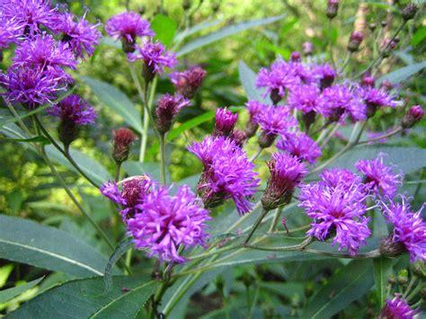 new york metropolitan flora vernonia noveboracensis new