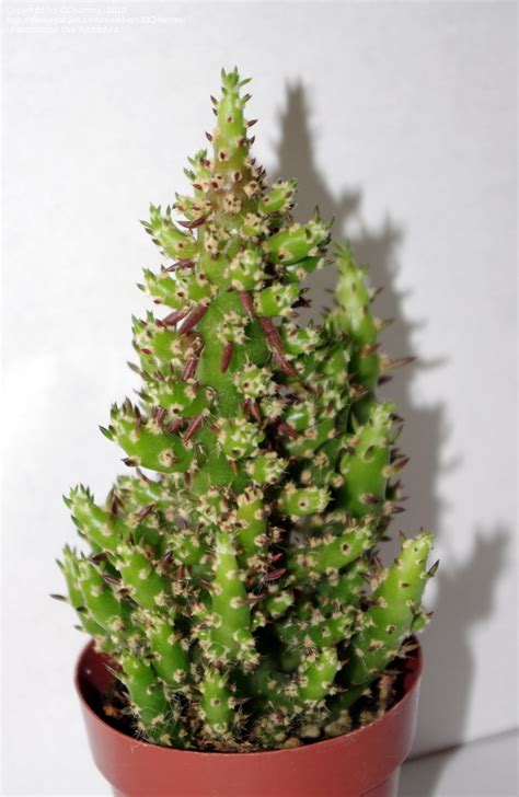 christmas cactus tree plantfiles pictures tree cactus s needle austrocylindropuntia subulata f