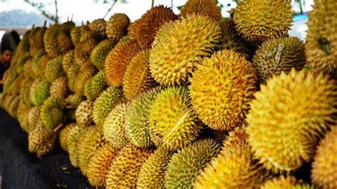 Bibit Durian Musang King Jakarta bibit durian musang king harga grosir murah