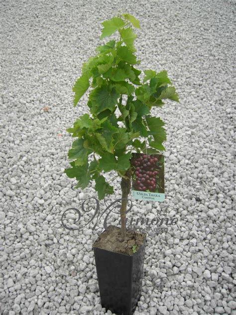 pianta di vite in vaso vivai maimone giuseppe alessio milazzo messina sicilia
