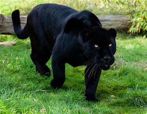 imágenes jaguar negro funlade el jaguar negro