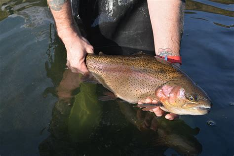 pa fish and boat commission hatcheries fall trout stocking gets underway in october rynd farm to