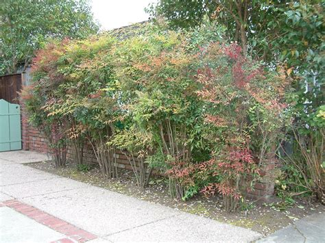 Full Sun Container Garden Ideas - nandina domestica