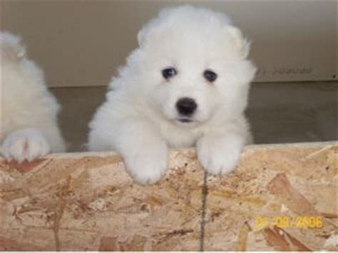 samoyed puppies for sale mn samoyed puppies for sale