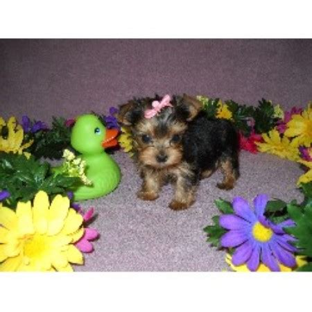 yorkie rescue northern virginia terrier mystical terriers virginia breeds picture