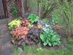 coral bells plant care  collection  varieties