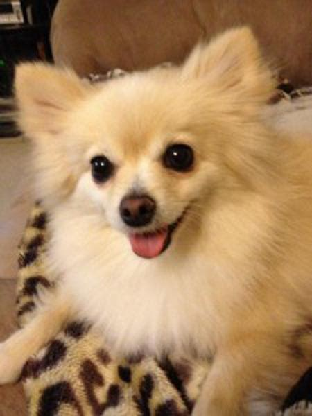 top pomeranian pomeranians and seizures