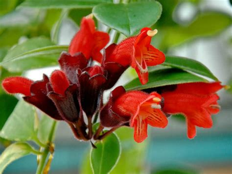 houseplant vine lipstick plant care and growing guide