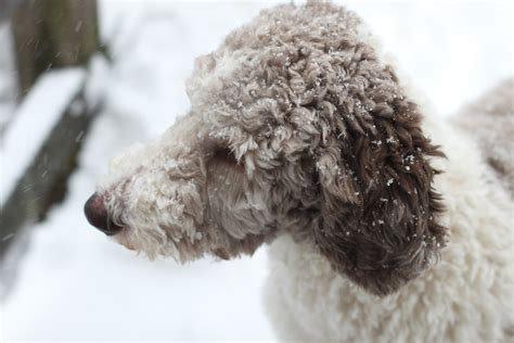 parti poodle lifespan oreo a year in the of a parti poodle postponed