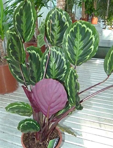 Cura Della Calathea by Calathea Informacion Sobre La Planta Propiedades Y Cultivo