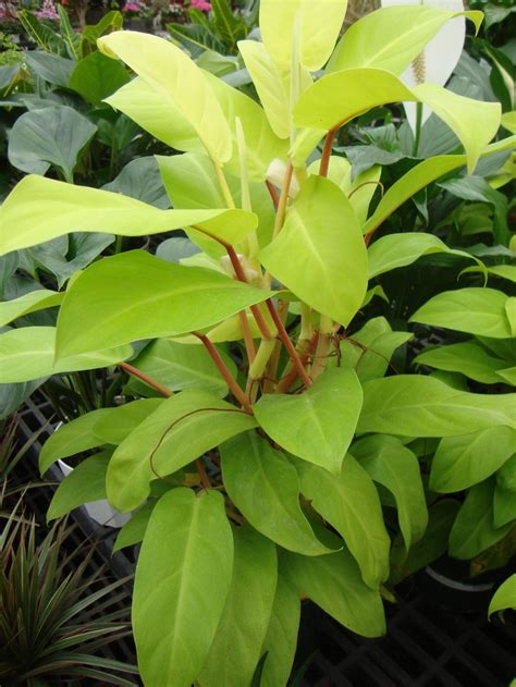 photo of the entire plant of philodendron lemon lime