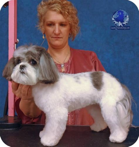 how to clip a maltese shih tzu grooming a maltese shih tzu mix with tracy duncan