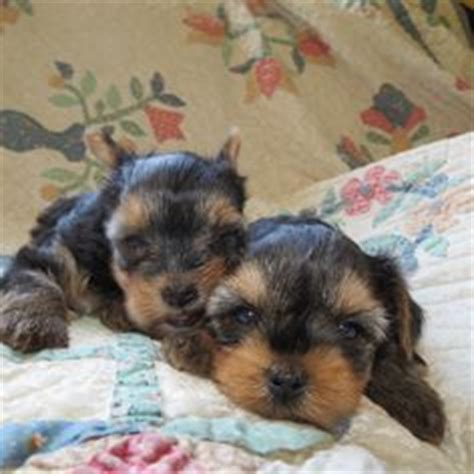 yorkie puppies 3 weeks yorkie puppy 5 weeks dogs yorkie and puppys