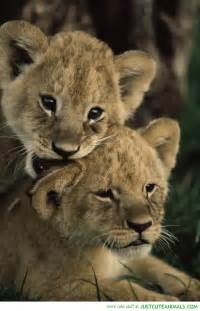 Cute baby lion cubs sleeping cute baby lions related keywords