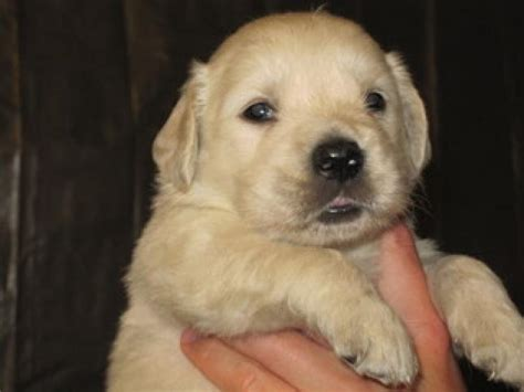golden retriever price india golden retriever puppies price in mumbai