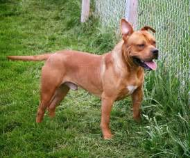 Dogs For Sale In Dogs For Sale Dynasty K9s