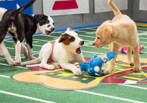 puppy bowl winner quot puppy bowl quot always a win for animal shelters cbs news