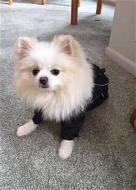 pomeranian wearing clothes clothing for pomeranians pomeranian information center