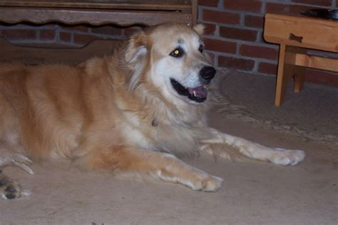missouri golden retriever rescue mo gh 777 goldheart golden retriever rescue