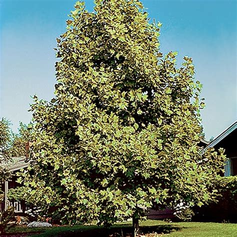 fast growing shade trees things to categorize pinterest