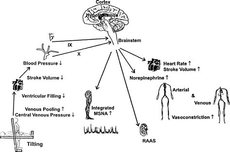 sindrome vaso vagale the elusive pathophysiology of neurally mediated syncope