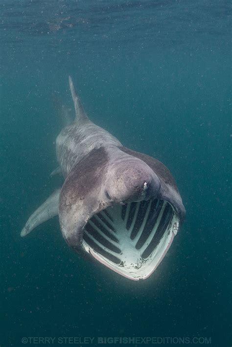 baby shark ultraman diving with basking sharks in scotland
