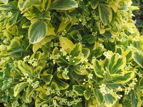 wit blad rode rand witte bloemen vijver jan den hertog tuinplanten boskoop