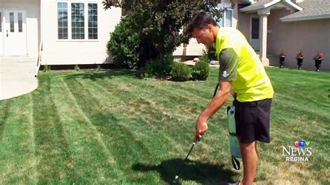 spray paint your lawn green sask company uses spray paint to keep water starved lawns