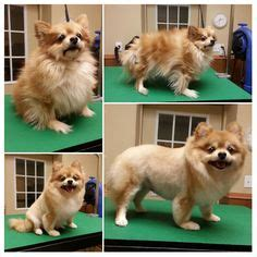 how to groom a pomeranian for show pomeranian haircut groomed lol and sarcasm pomeranian haircut