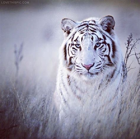 beautiful tiger beautiful tiger pictures photos and images for