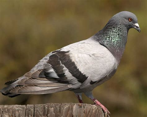 rock pigeon audubon field guide