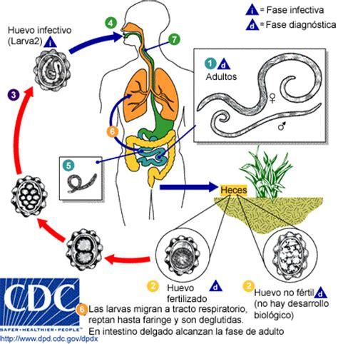 pinworm cycle diagram ascariasis o ascariosis recursos en parasitolog 237 a unam