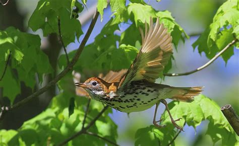 migration pattern of wood thrush wood thrush facts habitat diet migration song video
