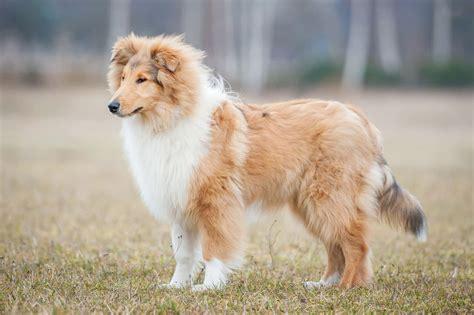 cani in appartamento le 30 razze canine pi 249 docili adatte a vivere in