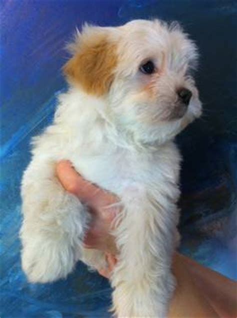 havanese puppies available now teacup pomeranian is a naturally bred teacup breeds picture
