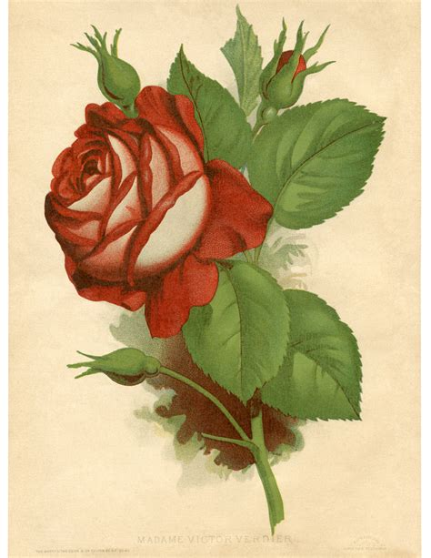 red rose vintage printable the graphics fairy