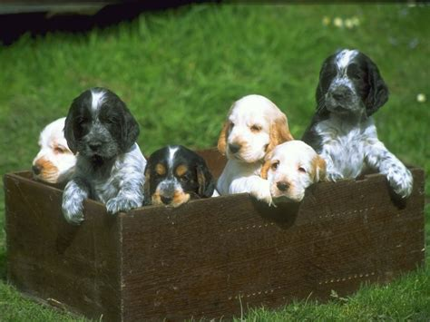 theme names for a litter of puppies file cuccioli setter jpg wikipedia
