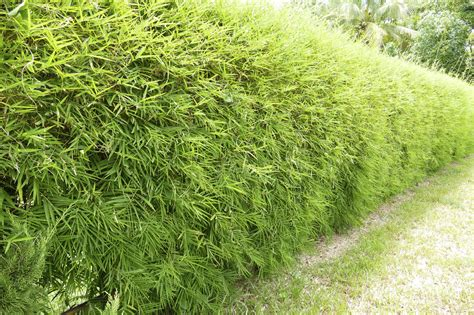 afraid to plant bamboo these varieties aren t invasive