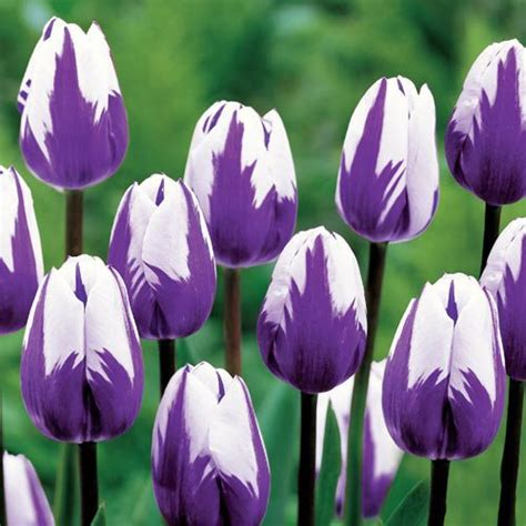 Maxy Dewi Purple planting tulips how to grow care for tulips garden