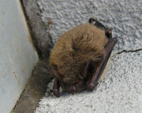 bats in the attic how to deal with bats in the winter time