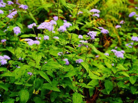 Gardens Duke Plant Spotlight Blue Mistflower Flower Garden Plants