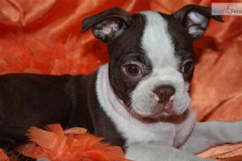 brown boston terrier puppies for sale meet brown suger a boston terrier puppy for sale for 500 brown suger