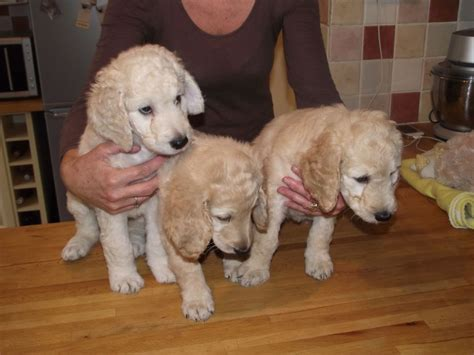 komondor puppies for sale near me free puppies for adoption pets world
