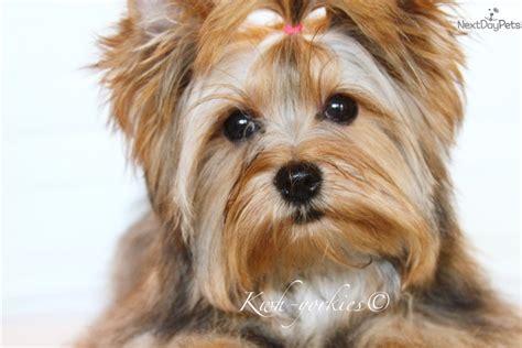 yorkie for sale in dallas tx avani terrier yorkie puppy for sale near dallas fort worth