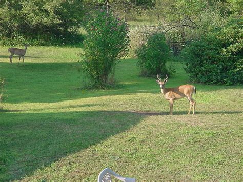 the backyard backyard deer pictures