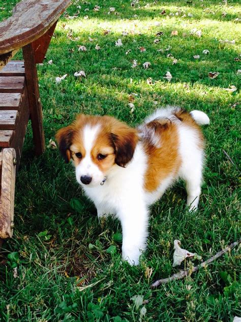 kooikerhondje puppies for sale počet obr 225 zků na t 233 ma pejsci na pinterestu 17 nejlepš 237 ch zv 237 řec 237 mil 225 čci
