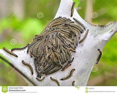 cherry tree worms eastern tent caterpillars malacosoma americanum stock image image of caterpillars worms