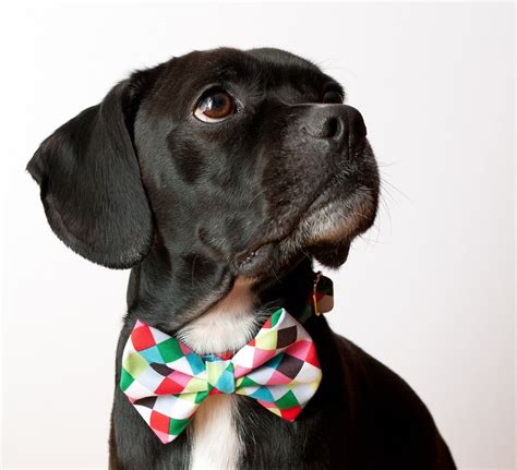 puppy with bow colorful cubes bow tie collar