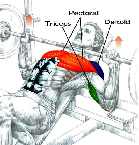 what muscles do bench press workout 7 super exercises for building upper body gaining tactics